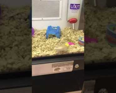 Funniest Hamster EVER !!!! - funniest hamster ever