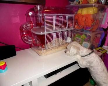 Funny Doggy and hamster. funny animals/ klatka dla chomika zolux rody lounge/ śmieszne zwierzaki HD - funny doggy and hamster funny animals klatka dla chomika zolux rody lounge smieszne zwierzaki hd