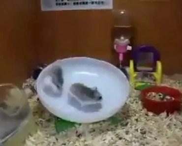 Funny Funny hamster LOL .mp4 - funny funny hamster lol mp4