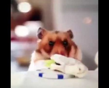 Funny Hamster Eating (Vine) - funny hamster eating vine
