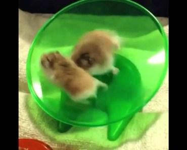 Funny Hamster Fail on Wheel (LOL) - funny hamster fail on wheel lol