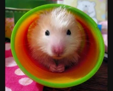 Funny hamsters - funny hamster video ! Part 5 - funny hamsters funny hamster video part 5