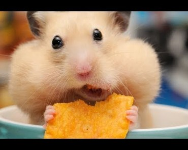 Funny Hamsters Videos Compilation 2017 | Cute And Funniest Hamster - funny hamsters videos compilation 2017 cute and funniest hamster