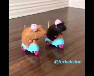 Guinea Pigs driving Scooters / Tricycles | Funny Video - guinea pigs driving scooters tricycles funny video