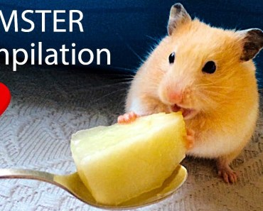 Hamster Doing CRAZY Things - COMPIATION - hamster doing crazy things compiation