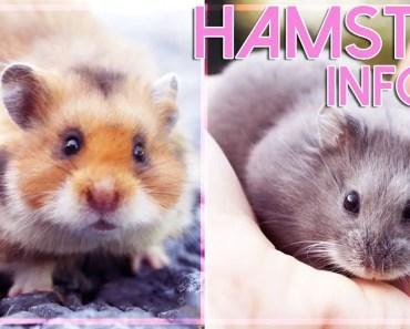 HAMSTERS : 4 espèces en questions ! Tutoriel hamster ! - hamsters 4 especes en questions tutoriel hamster