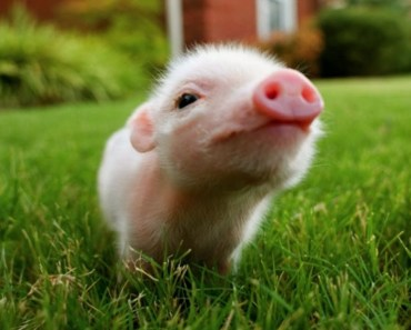 Mini Pigs - Cutest Micro Pigs Videos Compilation - mini pigs cutest micro pigs videos compilation