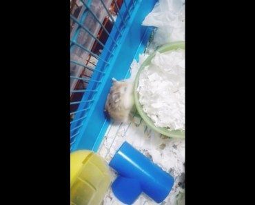 My Cute and Funny Robo Hamster! - my cute and funny robo hamster