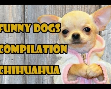 Puppies and Funny Dogs Compilation 2017 | Funny Chihuahua Video - puppies and funny dogs compilation 2017 funny chihuahua video
