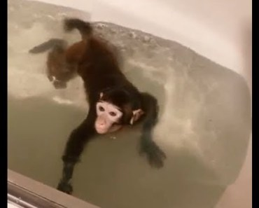 The little monkey is a good swimmer - Funny animals video - the little monkey is a good swimmer funny animals video