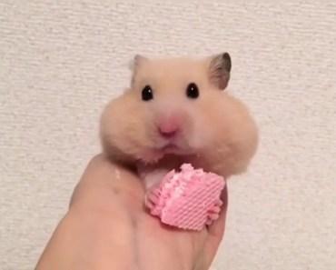 Tiny Hamster Eating Tiny Hamster Cracker - tiny hamster eating tiny hamster cracker