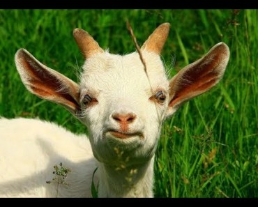Top Funny Goat Videos Compilation 2017 [BEST OF] - top funny goat videos compilation 2017 best of