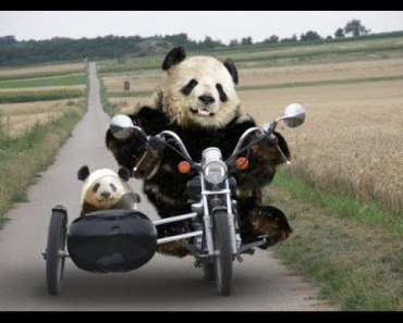 Top Funny Panda Videos Compilation 2017 [BEST OF] - Cute Animals - top funny panda videos compilation 2017 best of cute animals