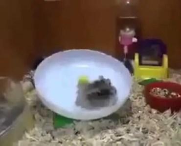 Funny Hamster !! - 1512521054 funny hamster