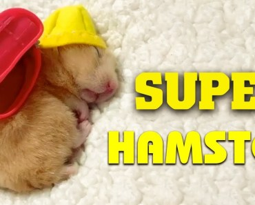 Best Funny Hamster Compilation - You Think You Saw Everything About Hamster - ColaHamHam - best funny hamster compilation you think you saw everything about hamster colahamham