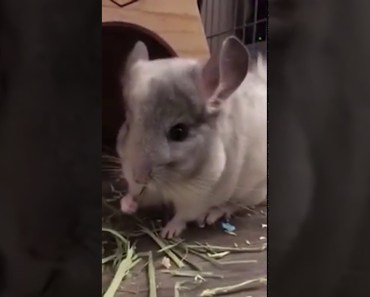 Chinchillas happy and funny days. Funny and cute chinchilla compilation. - chinchillas happy and funny days funny and cute chinchilla compilation