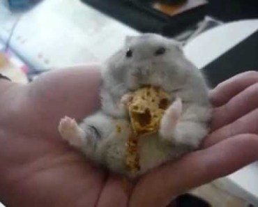 Cookie, Cute and Funny hamster eating french bread ! - cookie cute and funny hamster eating french bread