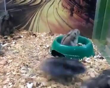 Crazy Back Flipping Hamster - crazy back flipping hamster