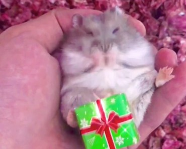 Cute Hamster Boxing Day Gif - cute hamster boxing day gif