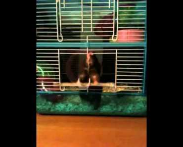 Escaping hamster very funny! - escaping hamster very funny
