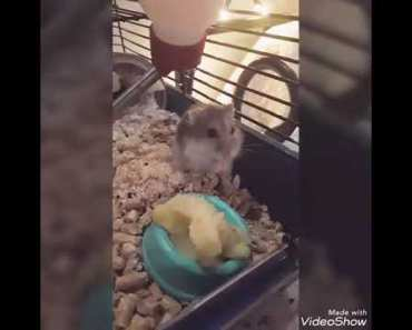 Funny Hamster 2017 | Hamster eating and playing| Cute animals - funny hamster 2017 hamster eating and playing cute animals