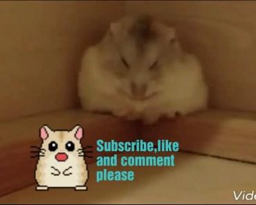 Funny hamster compilation - funny hamster compilation