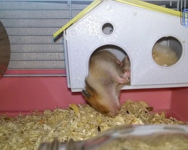 Funny Hamster Fell while sleeping - funny hamster fell while sleeping
