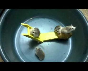 Funny Hamster - funny hamster