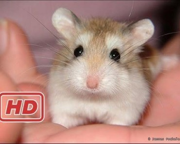 Funny Hamsters - A Cute And Funny Hamster Videos Compilation 2017... - funny hamsters a cute and funny hamster videos compilation 2017