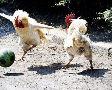 Funny Roosters - Top Funny Chicken and Rooster Videos Compilation 2017 [BEST OF] - funny roosters top funny chicken and rooster videos compilation 2017 best of