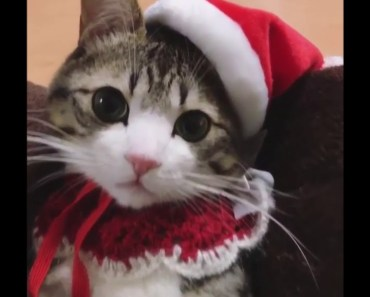 Funny Song: Cute Little Kitty in a Santa Hat - funny song cute little kitty in a santa hat