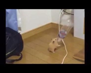Hamster dances to Touhou music - hamster dances to touhou music