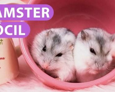 Hamster Dócil - hamster docil