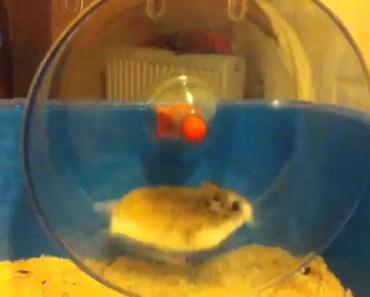 Hamster falling off wheel - hamster falling off wheel
