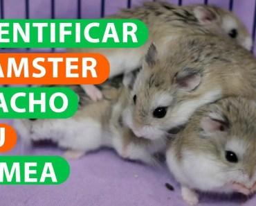 Hamster Macho ou Femea - hamster macho ou femea