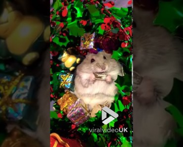 Hamster Opens Christmas Presents - hamster opens christmas presents