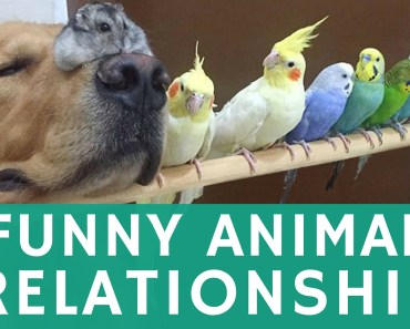 Heartwarming animal FRIENDSHIP: golden retriever, pet birds & hamster - heartwarming animal friendship golden retriever pet birds hamster