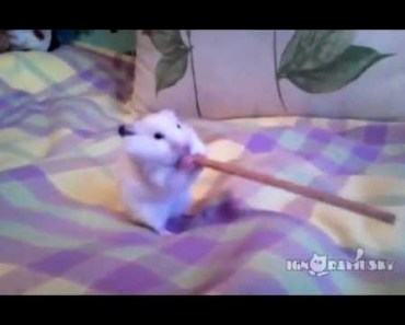 Mission Possible Funny Hamster Having Breakfast - mission possible funny hamster having breakfast