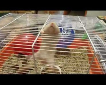 Most Amazing Hamster Trick - MUST SEE - most amazing hamster trick must see