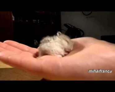 My Baby Hamster Snoring CUTE - Amazing Funny Videos - my baby hamster snoring cute amazing funny videos
