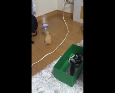 Pet şişeyle oynayan tatlı hamster funny video - pet siseyle oynayan tatli hamster funny video