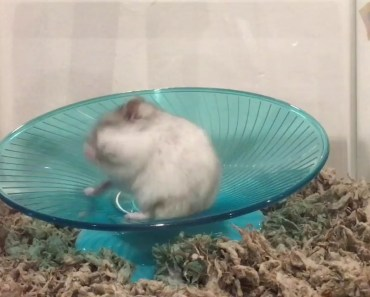 Pierog the Dwarf Hamster Running on His Flying Saucer Wheel - pierog the dwarf hamster running on his flying saucer wheel