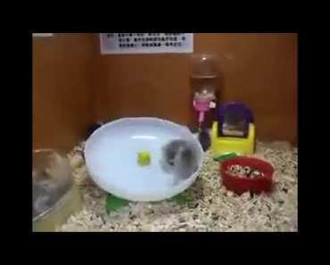 Small animals, petite, funny playing on a rotary plate to dizzy itself - small animals petite funny playing on a rotary plate to dizzy itself
