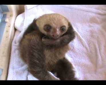 The Funniest Baby Sloth Video Ever!!! - the funniest baby sloth video ever