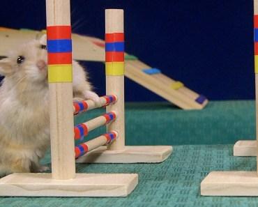 Tiny Dwarf Hamster Agility Course - Dumptruck Vs Porkchop - tiny dwarf hamster agility course dumptruck vs porkchop