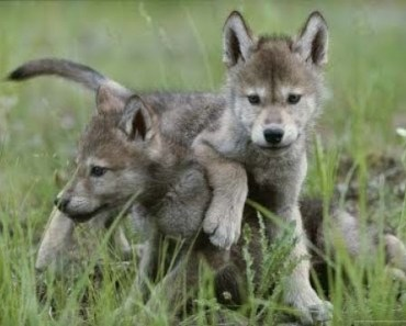 Top Cute Baby Wolf Cub Videos Compilation 2017 [BEST OF] - top cute baby wolf cub videos compilation 2017 best of
