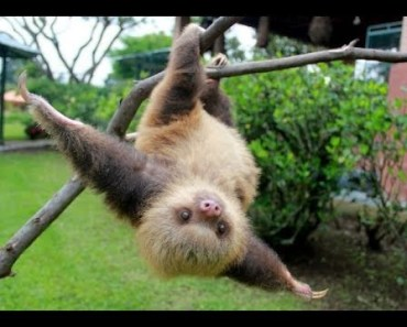Top Cutest Baby Sloth Videos Compilation 2017 [BEST OF] - top cutest baby sloth videos compilation 2017 best of