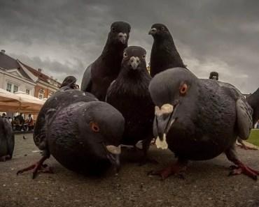 Top Funny Pigeon Videos Compilation 2017 - Cute Birds [BEST OF] - top funny pigeon videos compilation 2017 cute birds best of