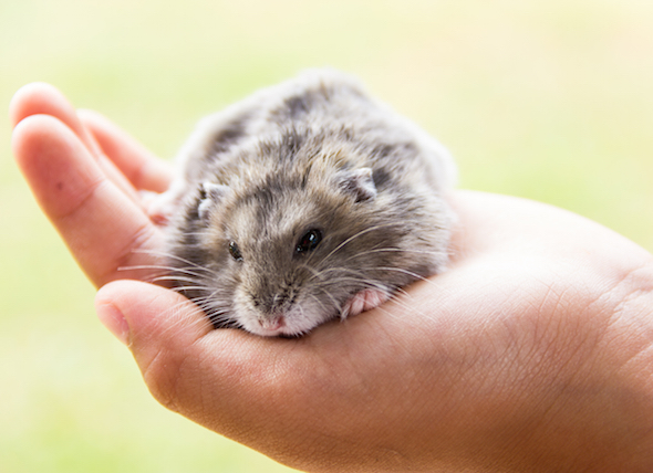 Keep Your Hamster Healthy - 7 Hamster Diseases Owners Should Be Aware Of
