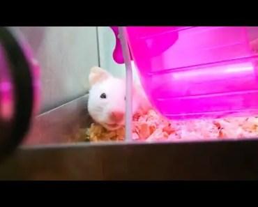 Adopting A Syrian Hamster! - adopting a syrian hamster